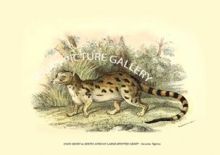 CAPE GENET or SOUTH AFRICAN LARGE-SPOTTED GENET - Genetta Tigrina
